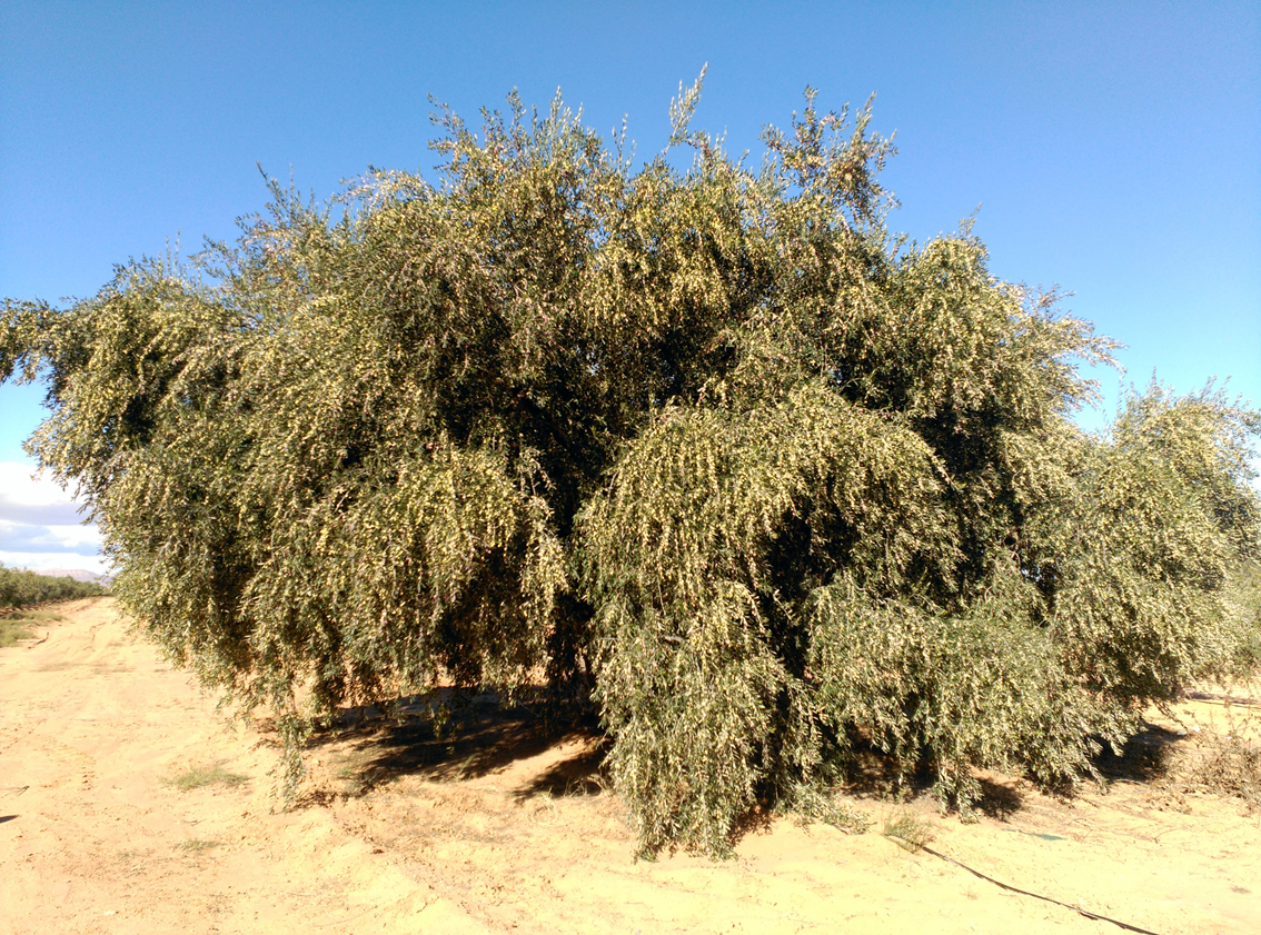 ancient_olive_tree_tunez