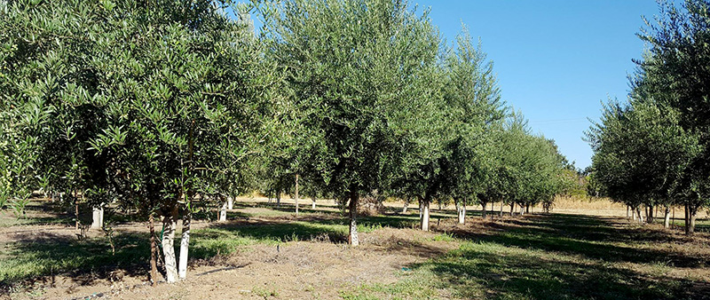 harvesters_for_almonds_and_olives_agromelca